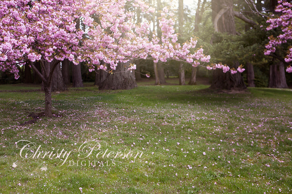 Flowering Cherry Tree Background And Overlay Set Christy Peterson